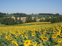 Sunflowers_017