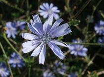 Chicory_cichorium_intybus